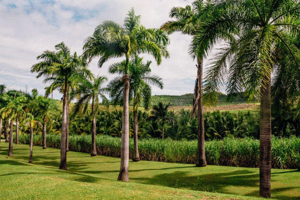 Habitation Clément : palm trees