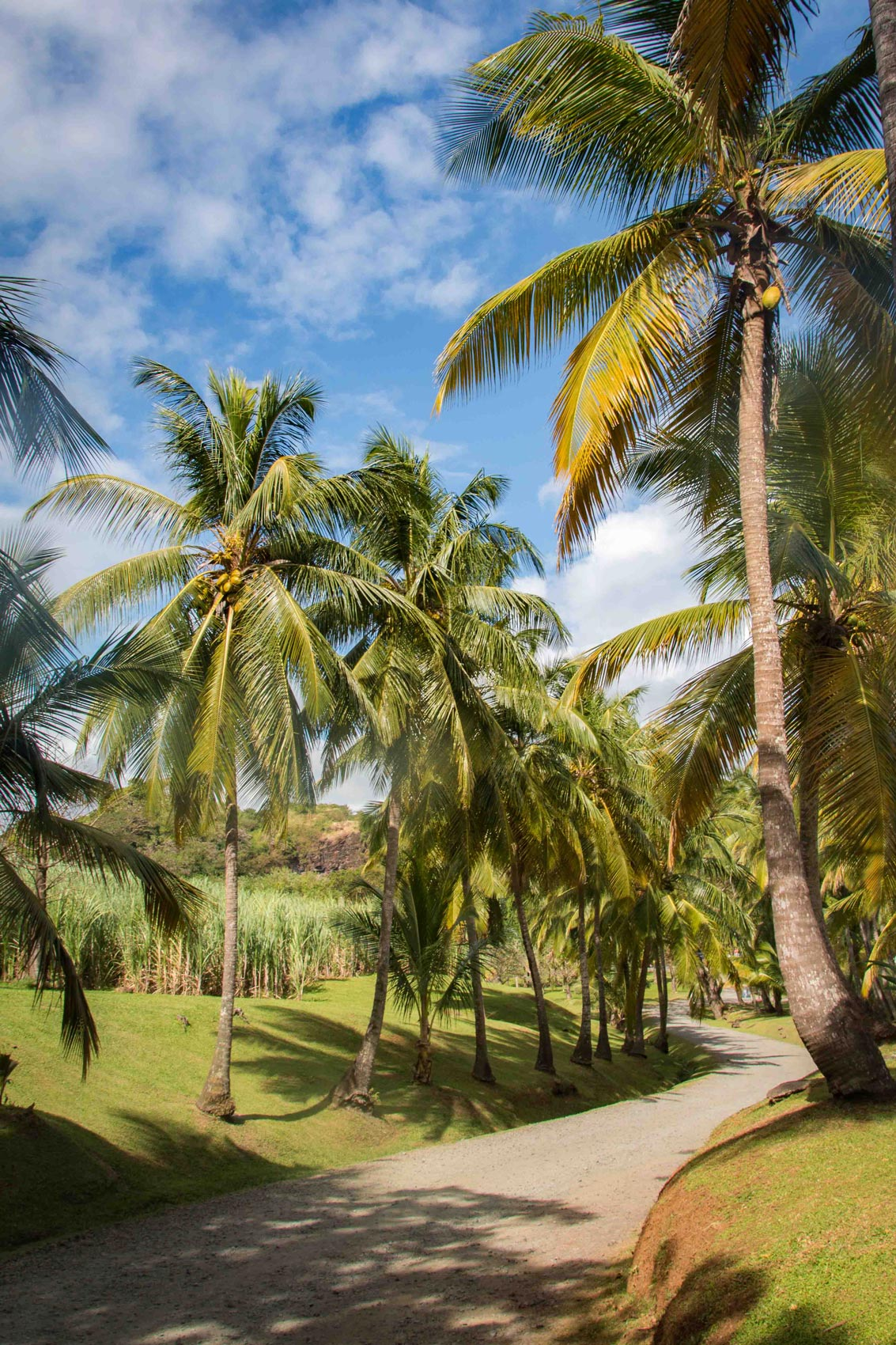 Habitation Clément : allée de cocotiers