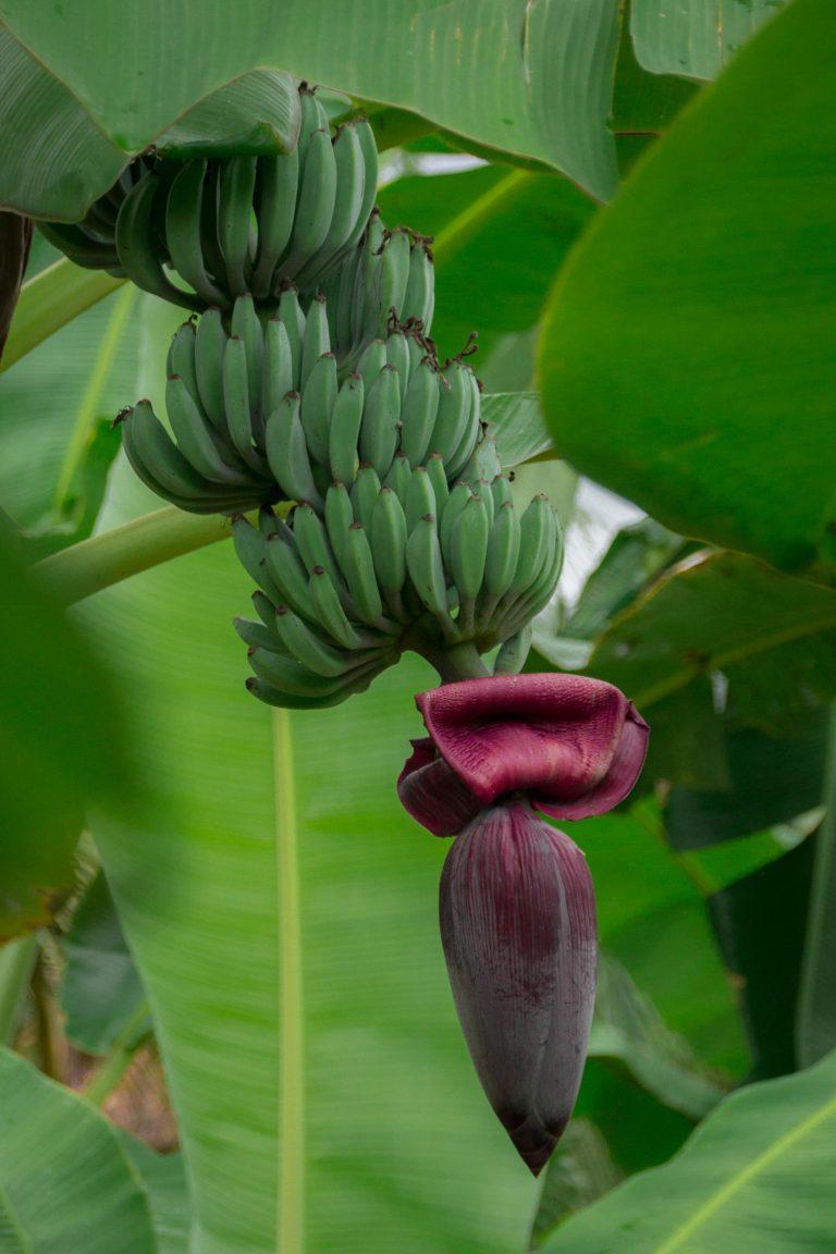 Habitation Limbé, régime de bananes