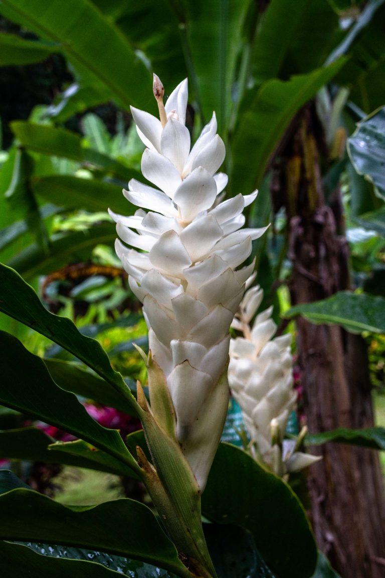 Martinique, Musée de la Banane : alpinia