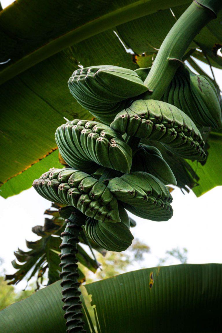 Martinique, Musée de la Banane : bananier benedetta
