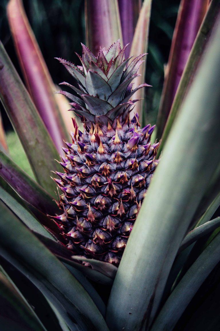 Martinique, Musée de la Banane : ananas