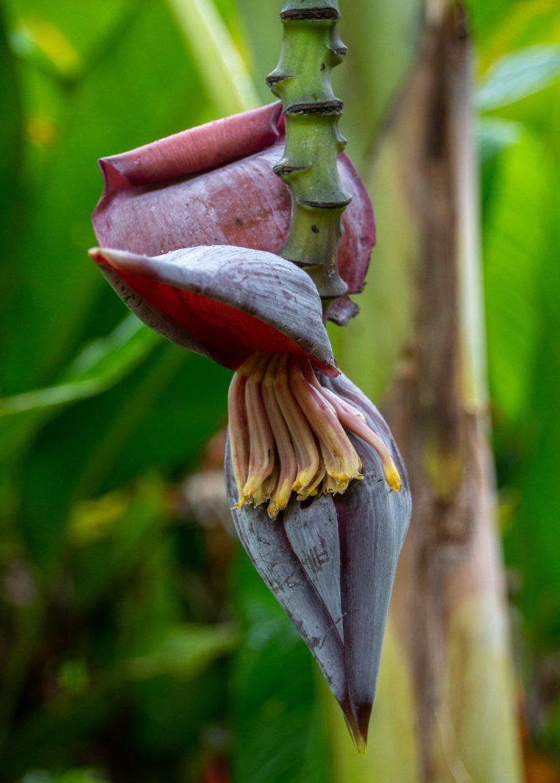 Martinique : musée de la banane, popotte de bananier