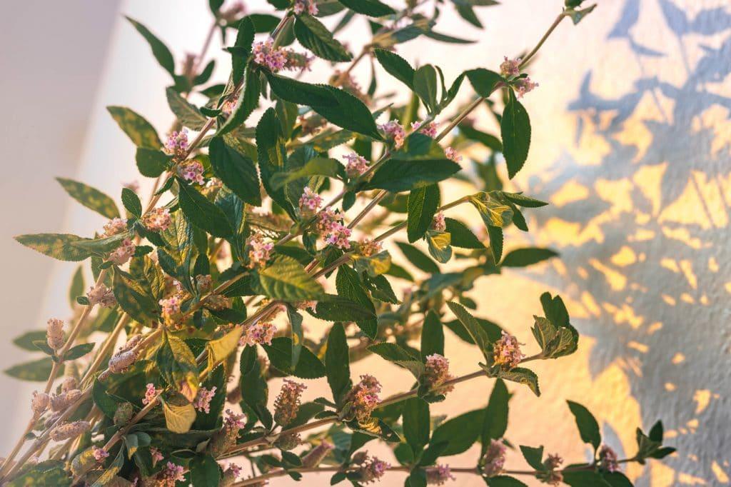 Bouquet de brisée ou lippia alba
