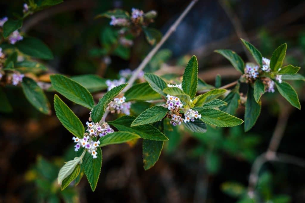 Branche de brisée ou lippia alba