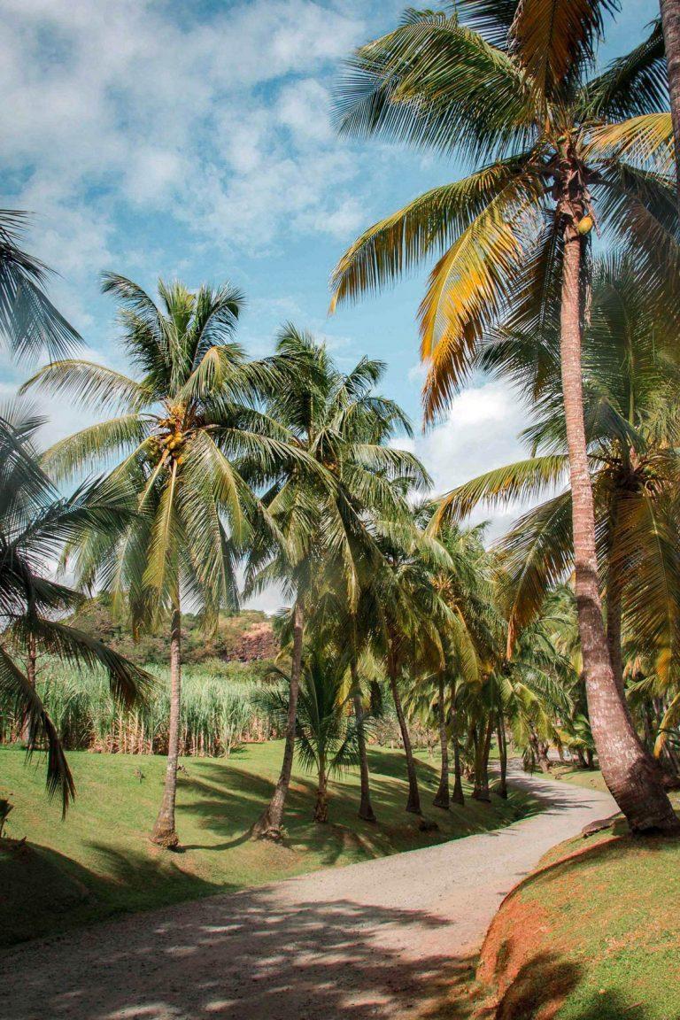 Allée bordée de cocotiers menant à l'Habitation Clément